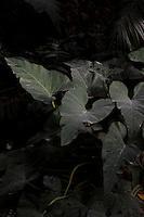 Tropical Rainforest Glasshouse (formerly Le Jardin d'Hiver or Winter Gardens), 1936, René Berger, Jardin des Plantes, Museum National d'Histoire Naturelle, Paris, France. Detail of Philodendron giganteum leaves emerging from the shadows in the Art Deco glasshouse.