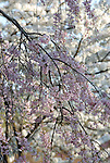 Cherry Blossoms in Eden Park,Cincinnati,Ohio