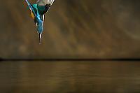 Kingfisher (Alcedo Atthis) j&eacute;gmad&aacute;r<br /> Balatonfuzfo, Hungary