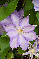 Clematis 'Thyrislund', pale violet early flowering large-flowered perennial vine