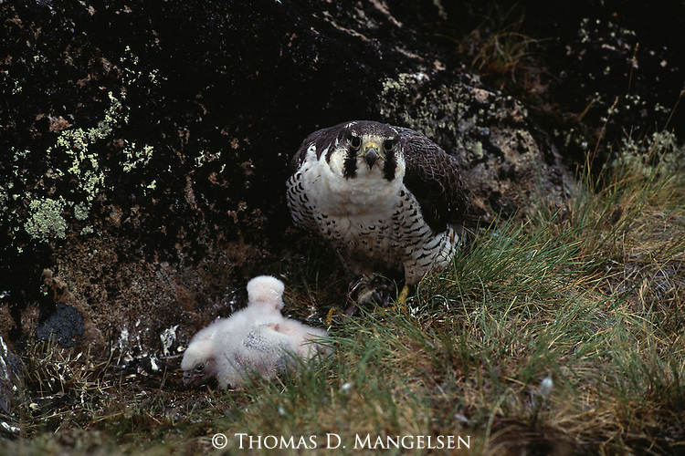 A Peregrine Falcon attending to its chicks.