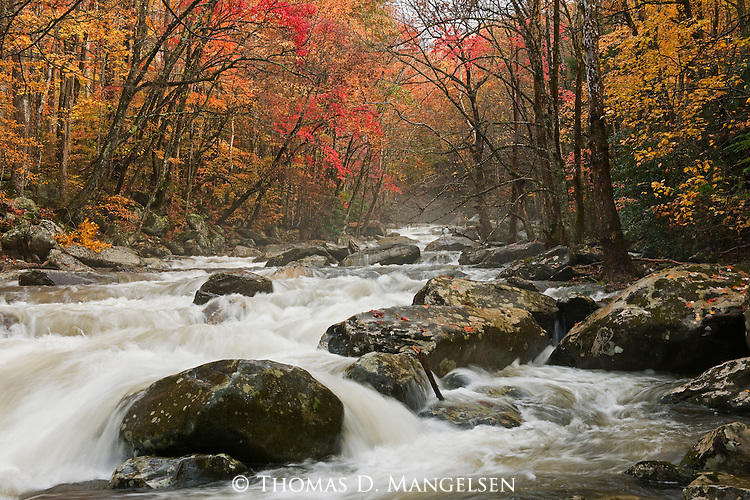 Following downpours from the previous day, the Little Pigeon River roars down its boulder-strewn course fringed by the vibrant reds and golds of the autumnal foliage in Great Smoky National Park in North Carolina.