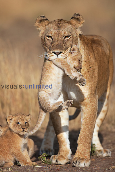 African Lion lioness carrying her cub aged 2-3 months while another looks on (Panthera leo), Masai Mara, Kenya.