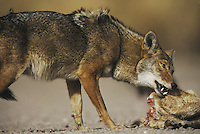 Coyote (Canis latrans), adult eating deer carcass, Starr County, Rio Grande Valley, Texas, USA