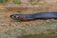 438950045 a wild adult texas indigo snake drymarchon corais erebennus swims and drinks in a small pond on dos venadas ranch starr county rio grande valley texas united states