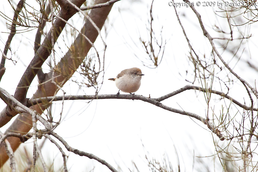 Chestnut-Rumped Thornbill, near Menindee, NSW, Australia