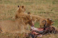 A young lion cub learns the manner of a carnivore from his mother, in the plains of the Maasai Mara, Kenya. (PHOTO: MIGUEL JUAREZ LUGO).