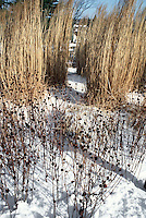 Seedheads of Rudbeckia with tall brown ornamental grass in winter snow, blue sky, browns, beiges, white to attract birds
