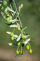 Ripe green olives on branch in traditional olive grove in Val D'Orcia, Tuscany, Italy