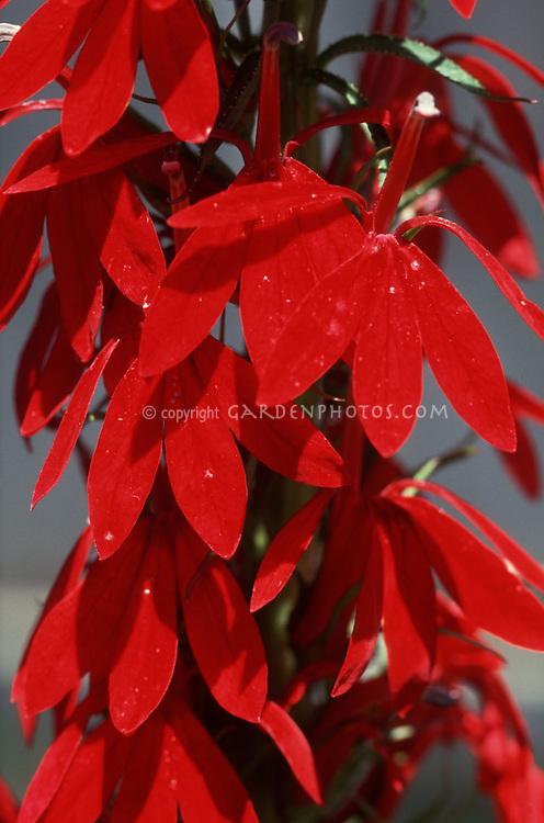 Lobelia cardinalis cardinal flower closeup of red blooms macro