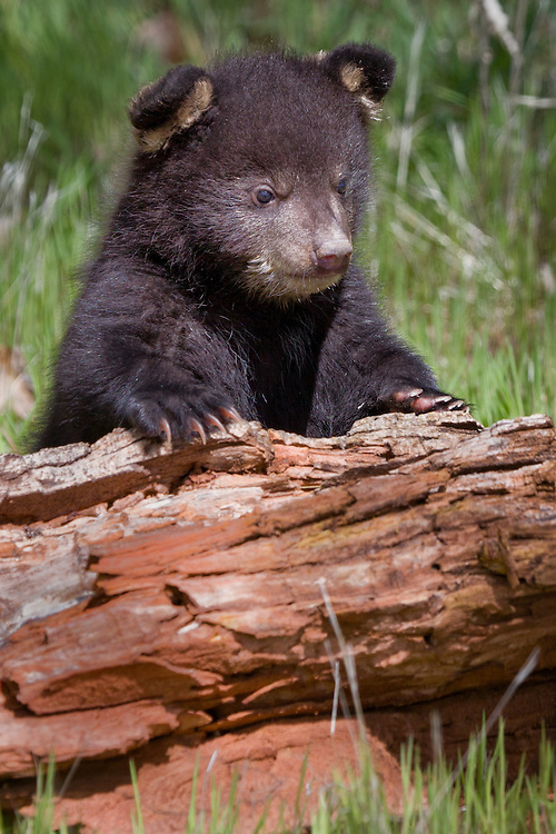 Baby Black Bear climbing over a log - CA