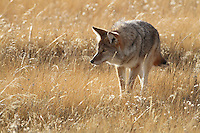 In Yellowstone, Coyote(Canis latrans) hunt usually alone but sometimes in pairs and rarely in packs. They likely belong to pack, but hunt alone.