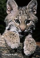MA26-074z   Bobcat - young - Felis rufus