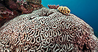 Brain Coral, Yap Micronesia (Photo by Matt Considine - Images of Asia Collection)