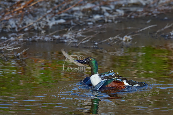 Northern Shoveler (Anas clypeata) drake just starting to jumping/taking flight off wetland pond.  Oregon-California border.  Late winter/early spring.