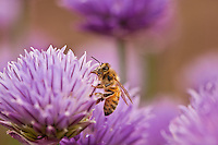 &quot;Chives and Honey Bee&quot;<br />