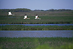 Whooping cranes in flight in Aransas National Wildlife Refuge, Texas