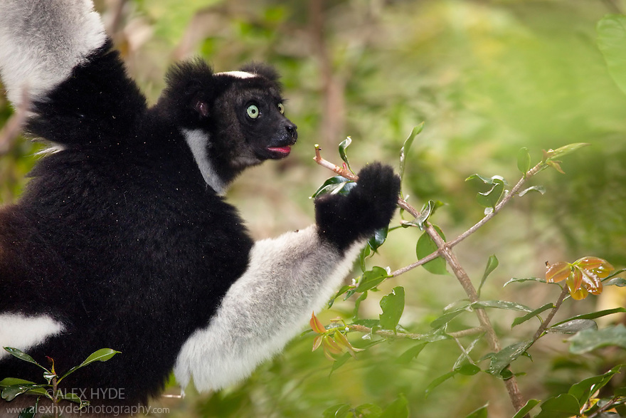 Indri {Indri indri} feeding in tropical rainforest,  Andasibe-Mantadia National Park, Madagascar. IUCN Endangered Species.