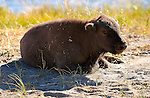 Bison Juvenile at Rest, Firehole River, Yellowstone National Park, Wyoming