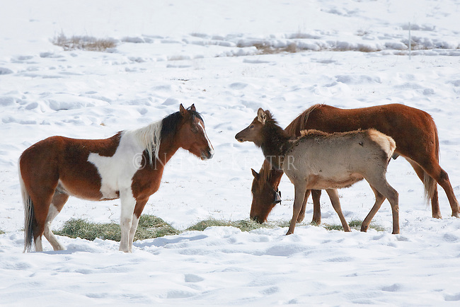 Horses in a pasture in winter put up with  elk eating their hay in western Montana