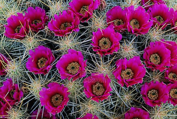 Strawberry Hedgehog Cactus, Echinocereus enneacanthus,blooming, Big Bend National Park, Texas, USA
