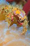 Decorator crab (Microphrys bicornuta) on sponge, bright orange and purple on a sponge