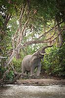 Elephant, Lekoli Bai, Lekoli River.