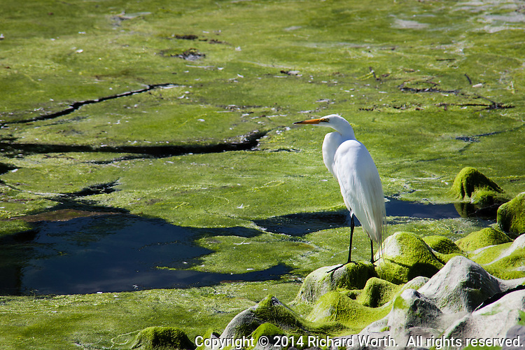 A Great Egret stands on a carpet of greet moss that stretches from the rocky shore into and onto the waters of the San Leandro Marina.