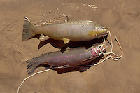 Photo of Two freshly Caught Trout Laying on the Beach at the Mouth of Nankoweap Canyon within the Grand Canyon of Arizona.
