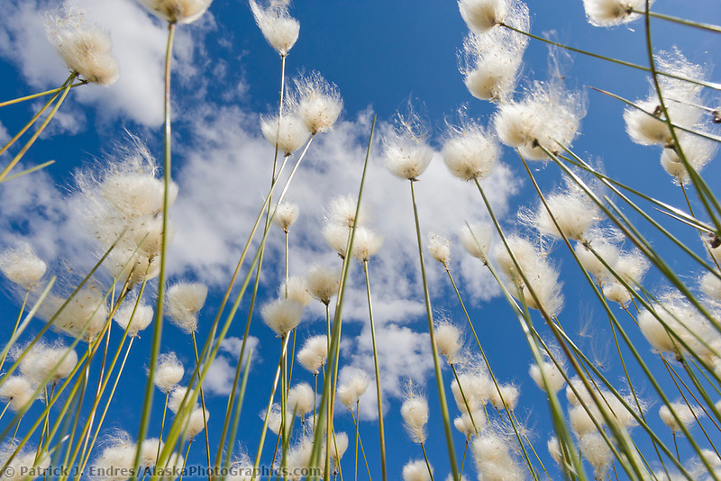 Alaska cotton grass on a summer day in the Alaska mountains.
