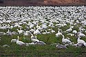 WA08132-00...WASHINGTON - A large of snow geese in a farm field on Fir Island in the Skagit River Delta.