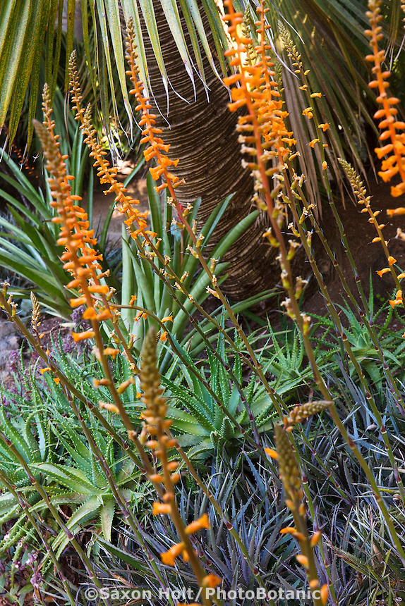 Succulent dyckia bromeliads blooming against a backdrop of aloes and palm tree - drought tolerant Worth garden, California