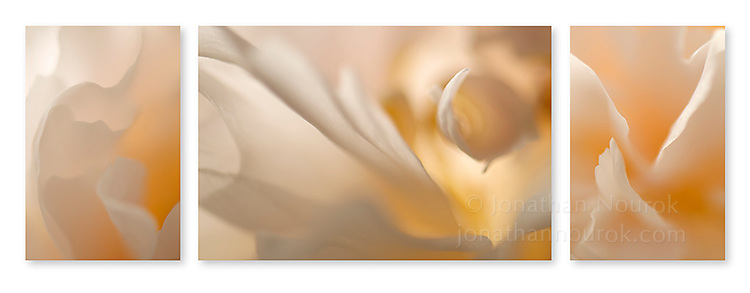 Close-up photographic triptych of white peony flowers. Images 221, 222 and 223.