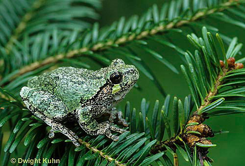 FR10-036a  Gray Tree Frog - on tree branch - Hyla versicolor