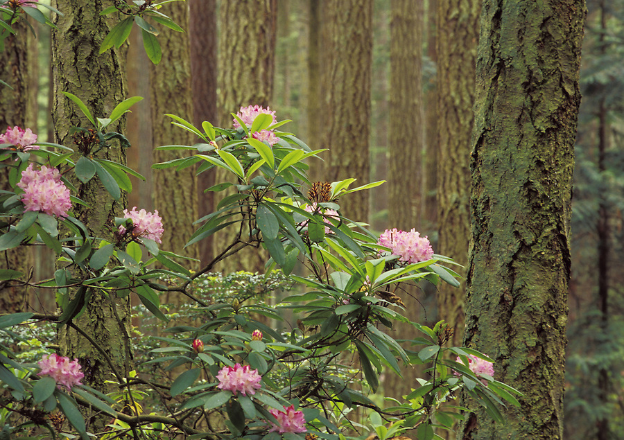 Wild pacific rhododendrons in forest, Rhododendron State Park, Coupeville, Whidbey Island, Washington