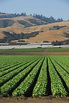 Lettuce field in Watsonville