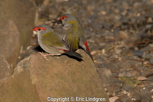 Two Red-browed Finches search together for food on the ground in the Bunya Mountains National Park, Queensland.  //  Red-browed Finch - Ploceidae (Estrildidae): Neochmia temporalis. Length to 12cm.  Found in coastal woodland and grassland habitats from western Cape York south to eastern South Australia. Isolated introductions in south-west Western Australia, probably cage-bird escapees. Feeds in small parties on the ground or in seeding grasses. Common.