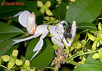 "0610-07mm  Malaysian Orchid Mantis Consuming Prey - Hymenopus coronatus ""Nymph"" - © David Kuhn/Dwight Kuhn Photography"