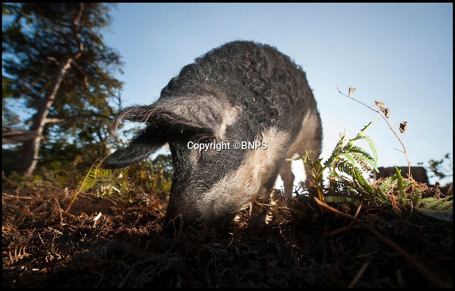 BNPS.co.uk (01202 558833)<br /> Pic: PhilYeomans/BNPS<br /> <br /> Hairy Mangolista's get to work...<br /> <br /> The RSPB has called in a crack-ling team of rare breed pigs to return woodland in Dorset to native heath - And the bonus is you can much on the unfortunate animals after they're work is done.<br /> <br /> RSPB project leader Mark Singleton has brought in an army of rugged Mangalitsa pigs to completely root through a pine forest scrub in south Dorset, and return it to the native heathland made famous by Thomas Hardy.<br /> <br /> Local butcher Jamie Warren owns the hardy Mangolista's, and after they've munched through the bracken, roots and rhizomes he can sell the tasty meat once they're work is done.<br /> <br /> The RSPB are trying to protect and enhance the precious heathland to protect the rare birdlife that inhabits the area.