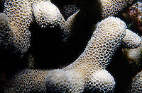 MARINE LIFE: REEFS<br /> Coral; Close-up showing individual polyps