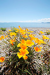 California Poppies, Lake Taupo, New Zealand
