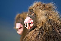Young male Gelada (Theropithecus gelada) signalling aggression with lip flip display, Simien Mountains National Park, Ethiopia.