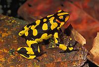 Harlequin Poison Frog (Dendrobates histrionicus), adult, Farallones de Cali, Colombia