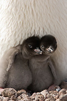 Adelie Penguin chicks are hatched with fluffy down and with slender necks and enormous bellies (Pygoscelis adeliae), Antarctica.