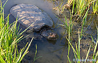 0611-0913  Snapping Turtle Exploring Pond Edge, Chelydra serpentina  © David Kuhn/Dwight Kuhn Photography
