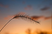 Foxtail Grass silhouetted at sunset.