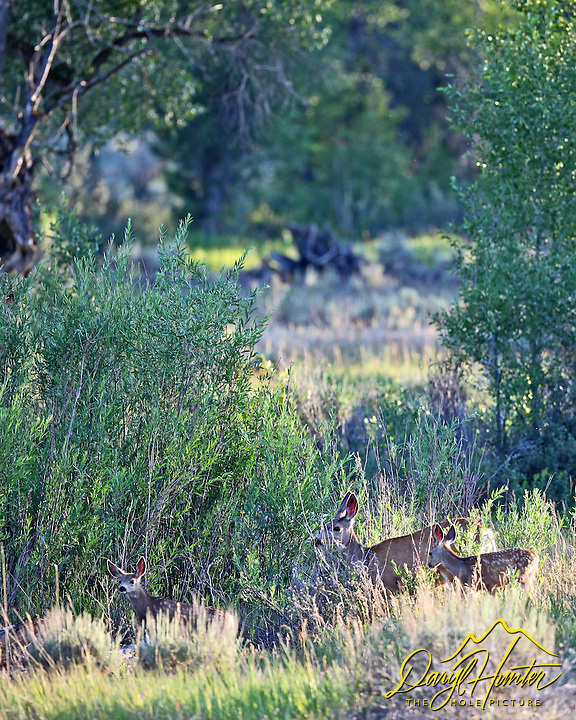 Mule Deer Doe and two fawns