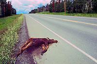 Roadkill Carcass of Moose Calf (Alces americana) - North America