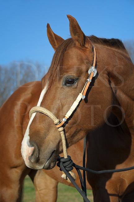 Horse Wearing New Straw Bosal