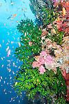 Bligh Waters, Rakiraki, Viti Levu, Fiji; an aggregation of schooling Anthias fish swimming amongst green Black Sun Coral